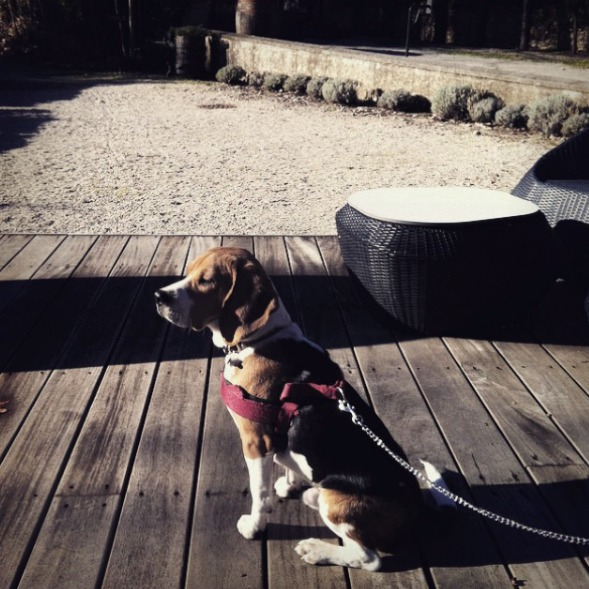 adopter un beagle blog lifestyle marseille