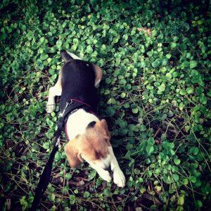 adopter un beagle blog lifestyle marseille