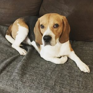 Adopter un beagle LeMagàlire