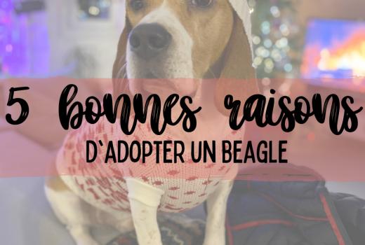5 bonnes raisons d'adopter un beagle le mag à lire